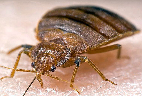 Bedbugs (Khatmal) Treatment