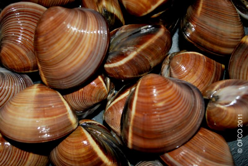 Clams (Brown)- Shell On - Meretrix lyrata