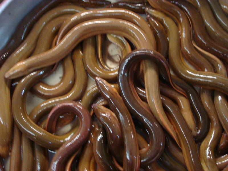 Live rice eel (white ricefield eel, Asian swamp eel)